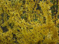Forsythia 'Boucle D'Or'