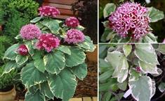 Clerodendron 'pink Diamond'