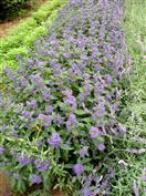 Caryopteris, Barbe-bleue grisonnante