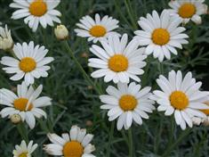 "Anthemis ""frutescens"""